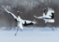 Dancing Cranes Environmental Defense charity holiday card